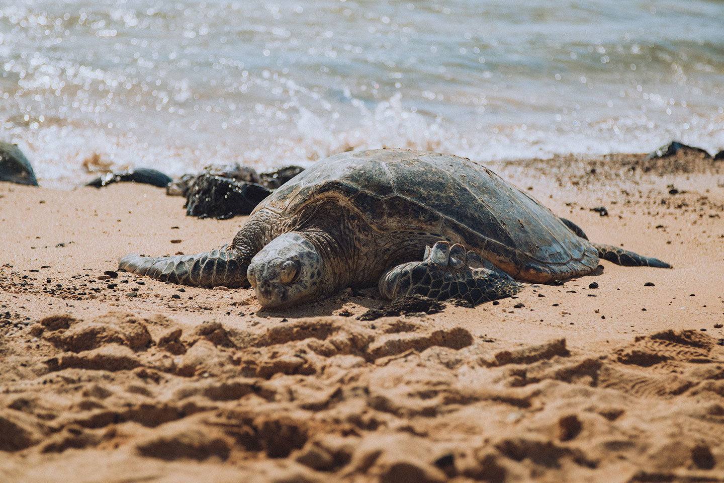 Seaturtle on the shore at Poipu beach
